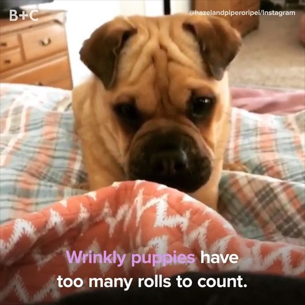 Wrinkly Puppies Are the Cutest Thing You'll See All Day