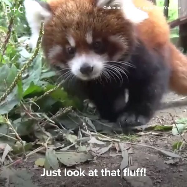 Proof That Baby Red Pandas Are Too Cute to Handle