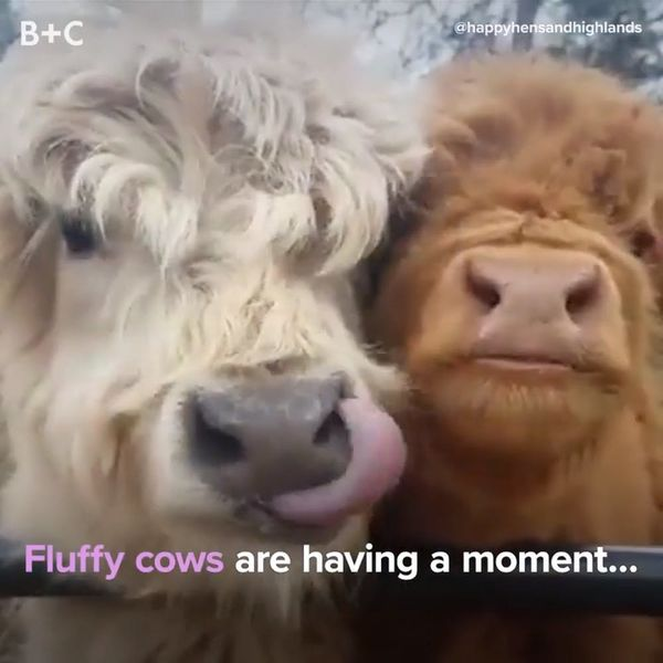 Fluffy Cows Are Having a Moment And We Are HERE For It