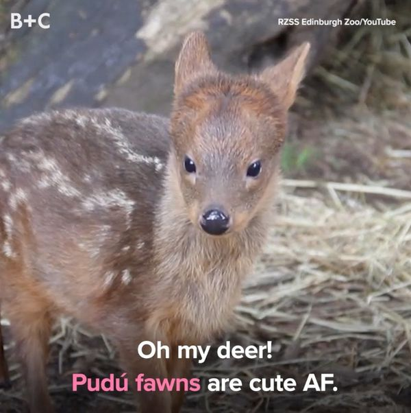 The World's Smallest Deer Is Too Cute For Words