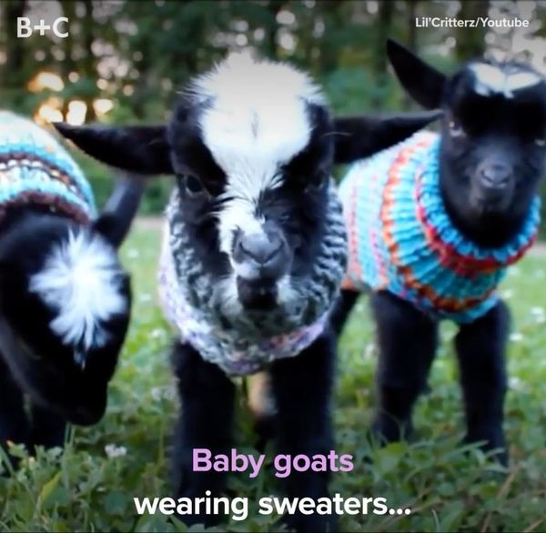 Baby Goats Wearing Sweaters Is the Happiest Thing You'll See All Day