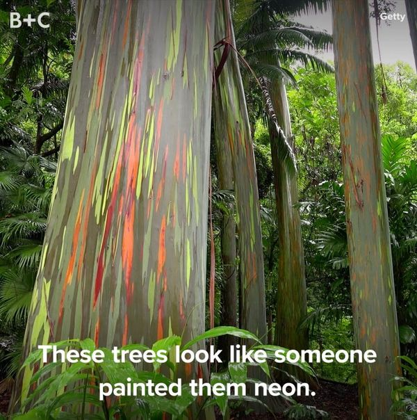 Rainbow Eucalyptus Trees Are Our New Fave Plant