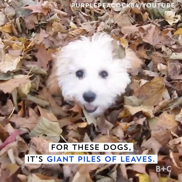 These Dogs Love Giant Piles of Leaves