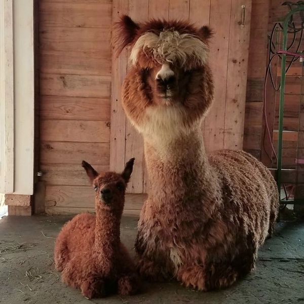 8 Airbnbs That Will Let You Live Out All of Your Alpaca Dreams