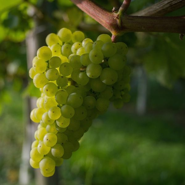 Grapes — Yes, Grapes — Might Be the Future of Birth Control