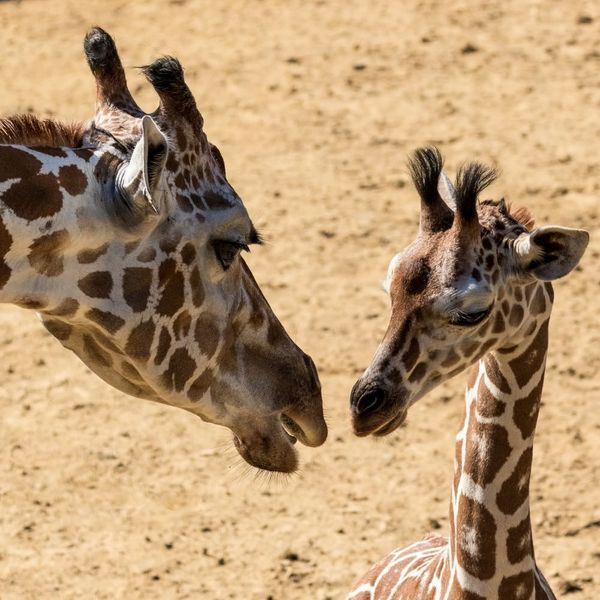 This Giraffe Is About to Have a Baby Via Livestream and the Internet Can't Handle It