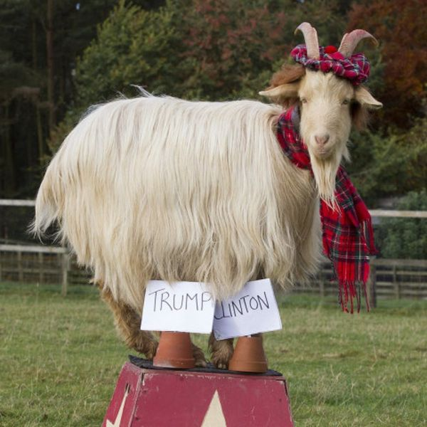 """This """"Psychic"""" Goat Has Predicted Who Will Win the Election"""