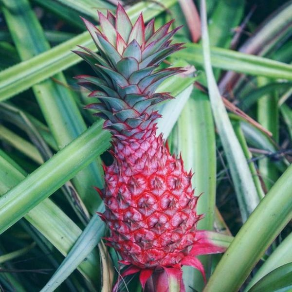 Alert! Millennial Pink Pineapples Are a Thing That Exists Now