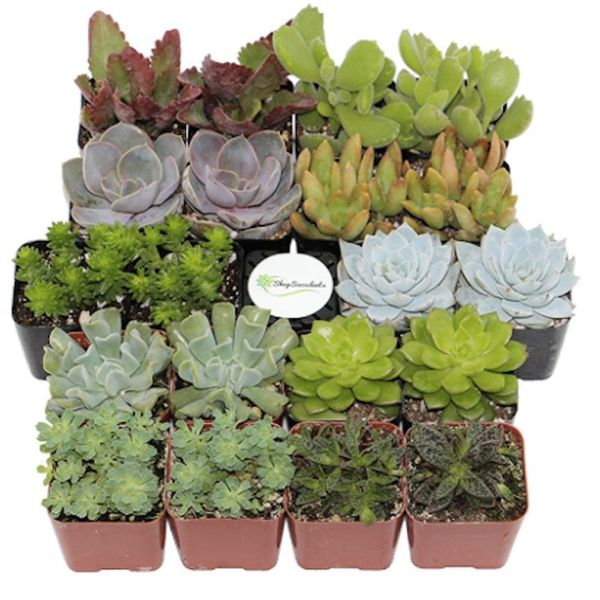 PSA: You Can Get Succulents Delivered to Your Doorstep Thanks to Amazon