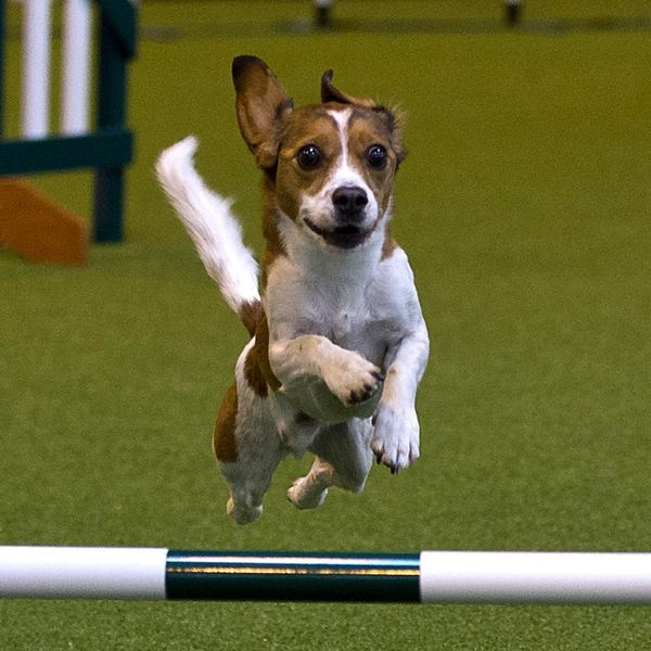 Dog Totally FAILS an Obstacle Course and Tumbles His Way into Our Hearts