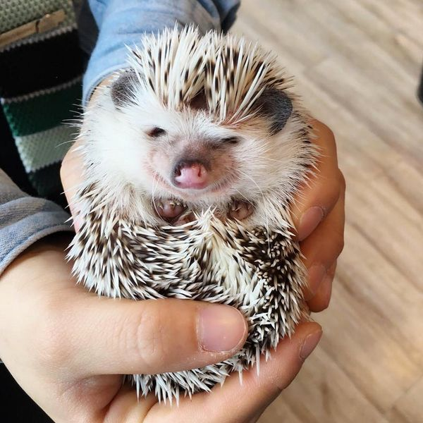 Step Aside Cat Cafes: Hedgehog Cafes Are the New Thing