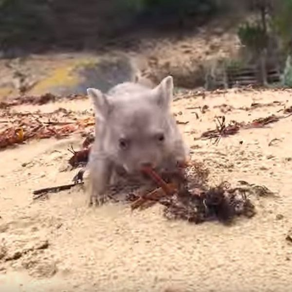Adorable Dream Job Alert! Pro Cuddler Needed for Lonely Baby Wombat