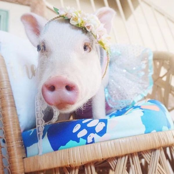 The 15 Cutest Pig-stagram Accounts of 2016