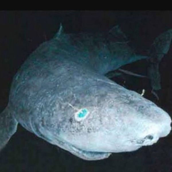 This 400-Year-Old Shark Could Wildly Change Anti-Aging Science