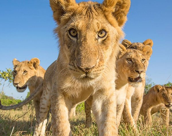Forget GoPro, Check Out This Insane LionCam