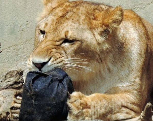 This Lion Made You a Pair of Jeans